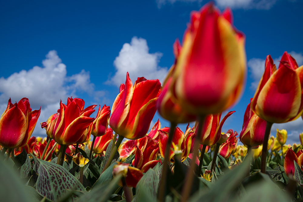 Scarlet tulips with yellow stripes in a field in the Netherlands. Tulips in Holland are everywhere in spring.