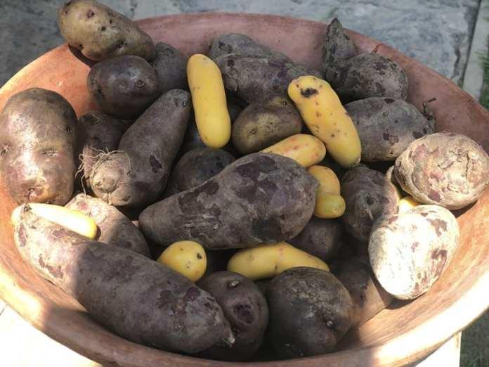 el-albergue-ollantaytambo-peru-potatos