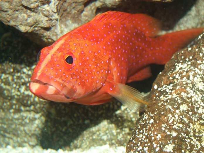 Best Monkfish Substitute - Grouper