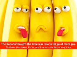 Bananas Ripened by Giving Off Ethylene Gas