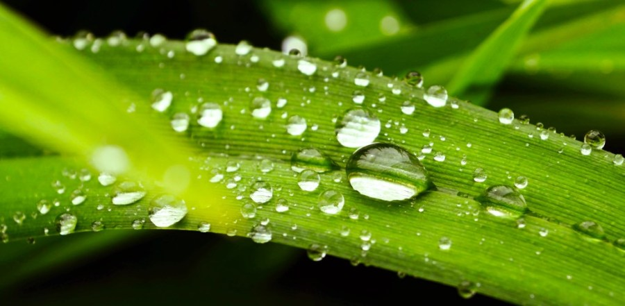 dew on a hydrophobic leaf surface