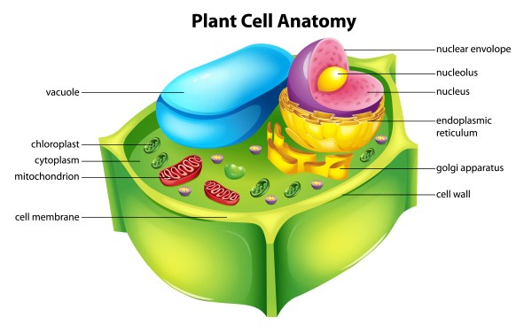 cut through the cell wall - Illustration showing the plant cell anatomy