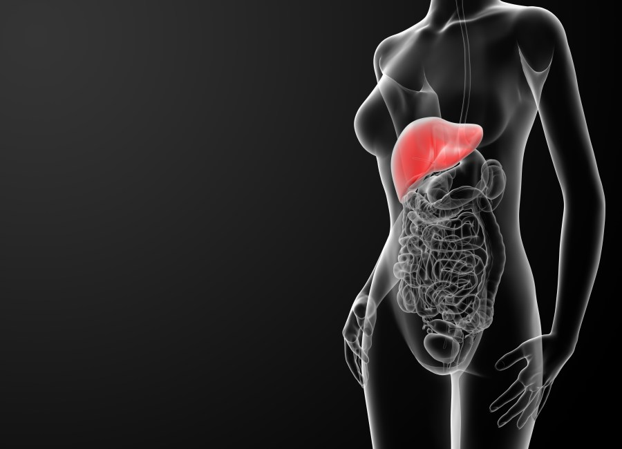 3d rendered illustration of the female liver - front view