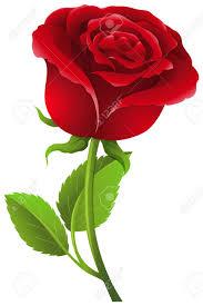 Rosa vera