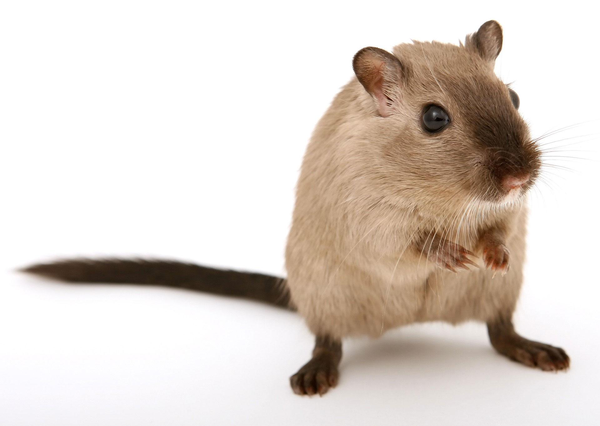 rat dans la maison affordable raticide contre les rats et les souris with rat dans la maison. Black Bedroom Furniture Sets. Home Design Ideas