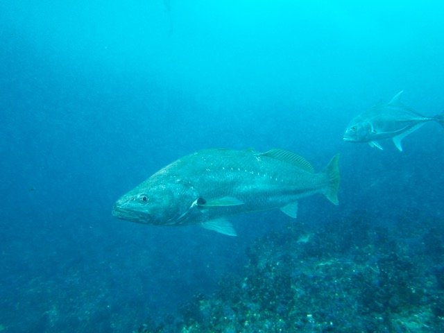 Mulloway or Jewfish Spearfishing Tips