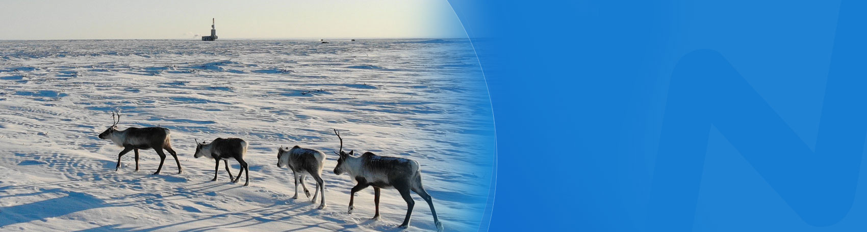 Caribou cross the snow with a rig in the background.