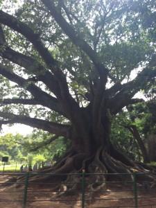 ein sehr alter Baum