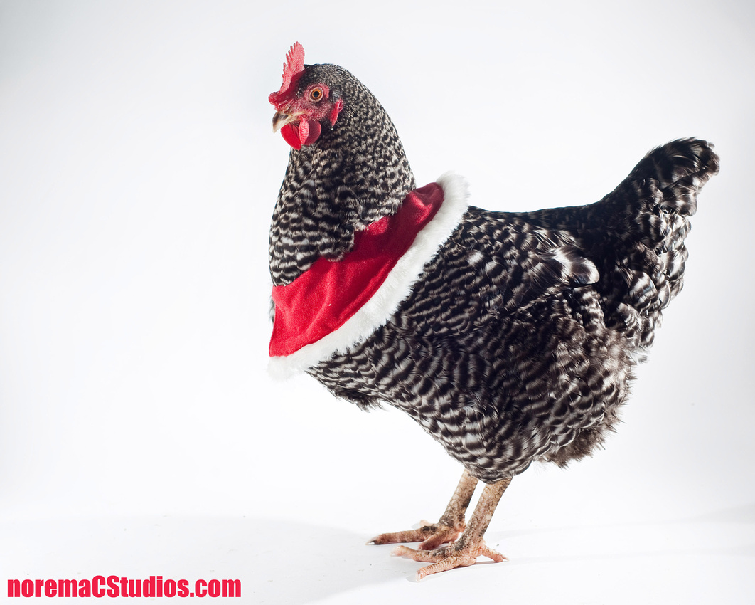 NoremaC Studios Photography Atlanta Georgia Chicken