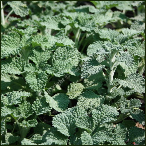 Buy Horehound - Marrubium vulgare from Norfolk Herbs
