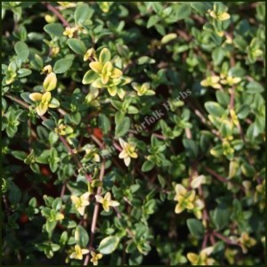 Thyme, Goldstream - Thymus serpyllum