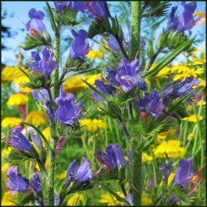 Vipers Bugloss - Echium vulgare