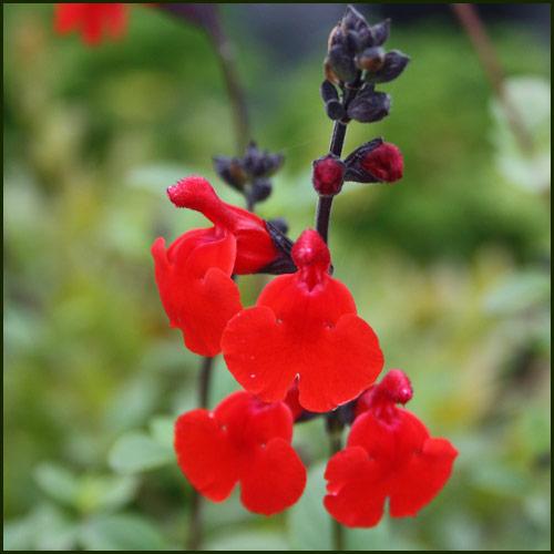 Salvia, Royal Bumble - Salvia greggii