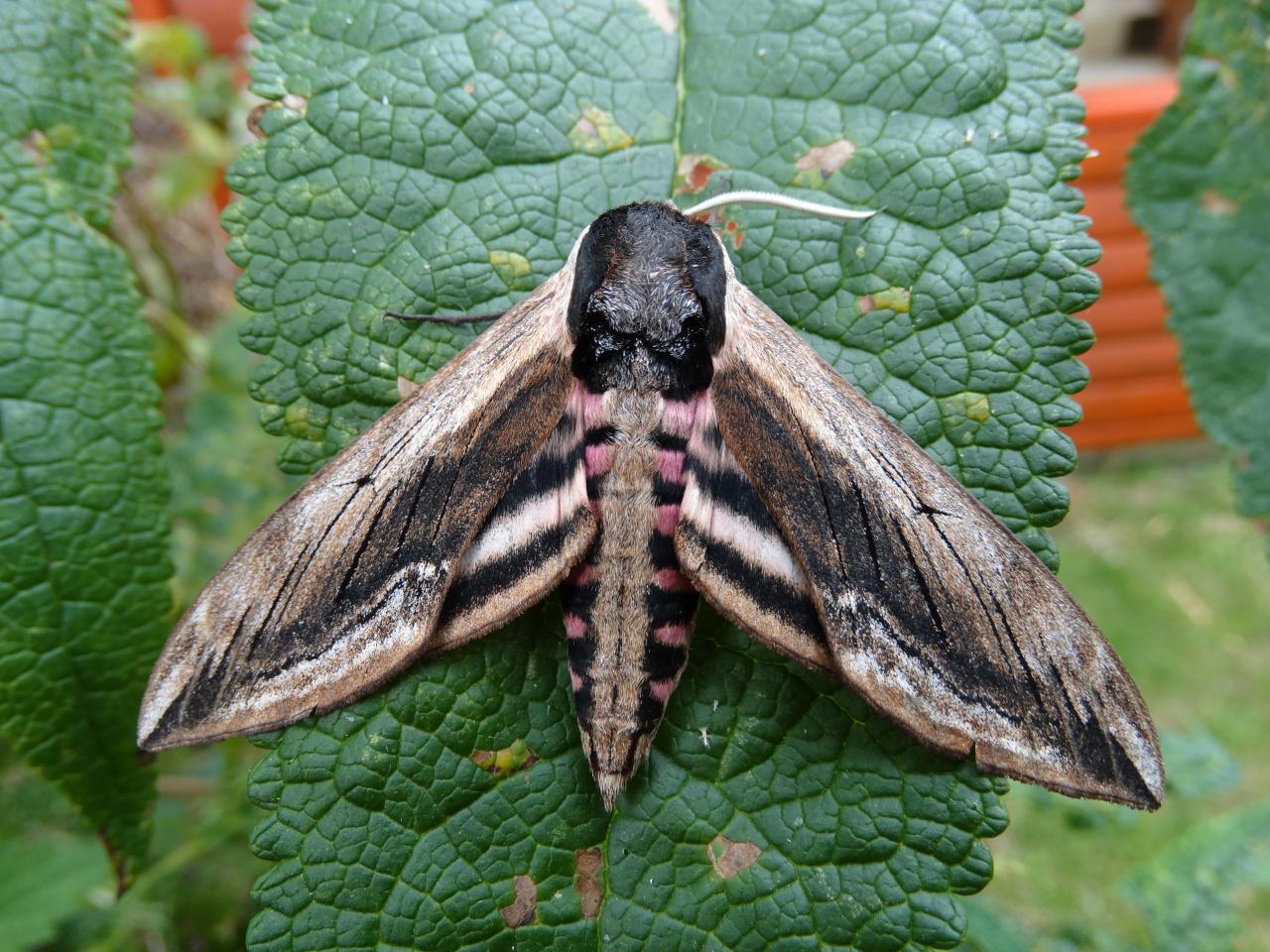 Privet Hawk Moth Sphinx Ligustri Norfolk Moths The