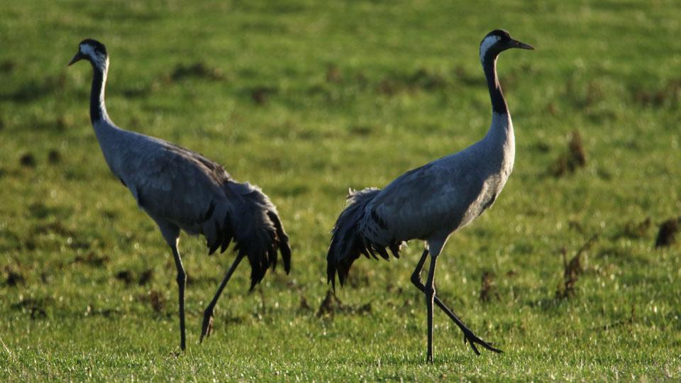 common crane norfolk wildlife