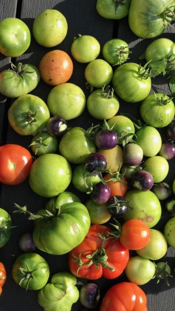 grønne tomater fra min have