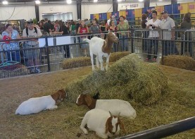 Goats on display at the 2011 NC State Fair. Photo courtesy bnhsu, Flickr Creative Commons