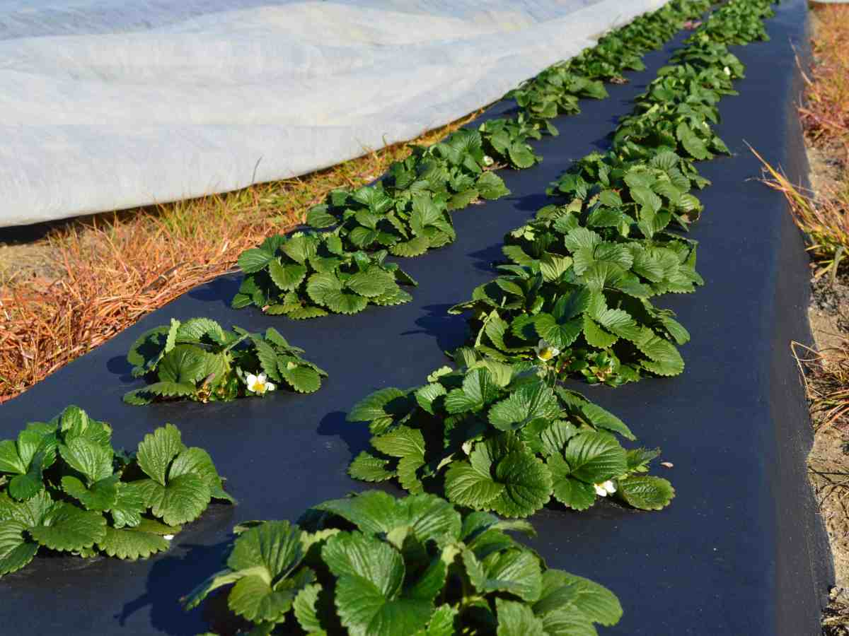 Strawberry plants, using plastic ground covers, which help prevent weeds. Photo courtesy NC State University