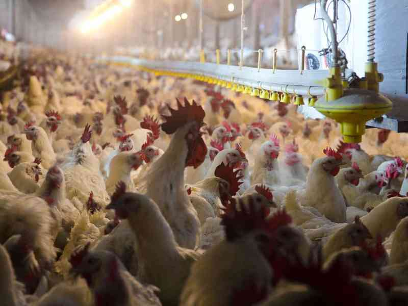 shows the inside of a crowded poultry house