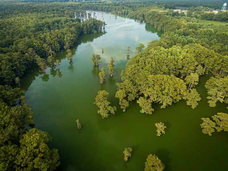 In an aerial photograph, shows trees amid murky green algae filled water