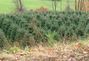NC Mountains Christmas Tree Farms