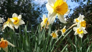 Spring Time Brings Daffodils to NC