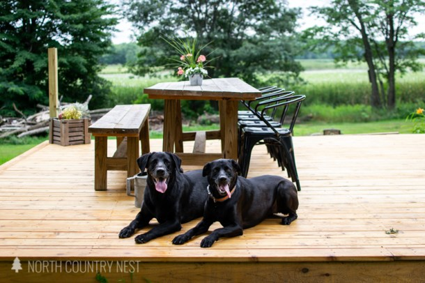 black labs on outdoor deck
