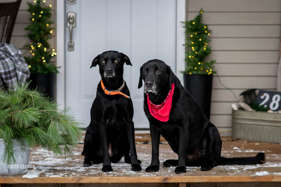 two black labs on holiday front porch