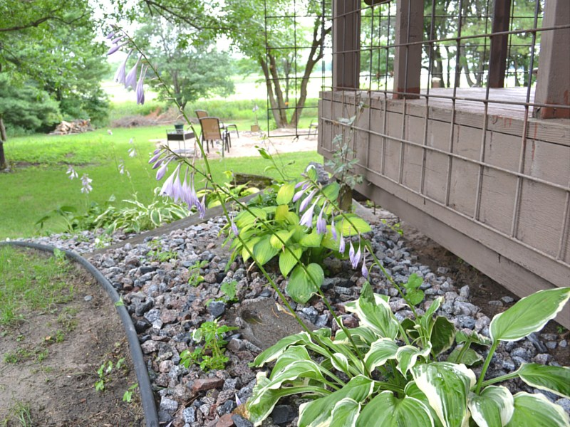 hostas in rock landscaping