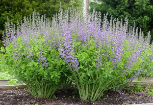 Image result for baptisia australis