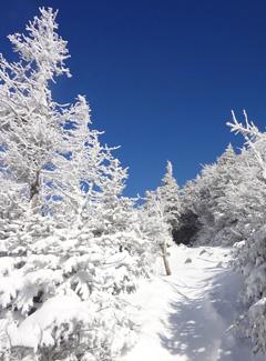 Frozen krummholz on Mt. Lafayette