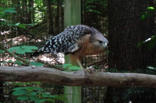 Red-Shouldered Hawk at Squam Lakes Science Center