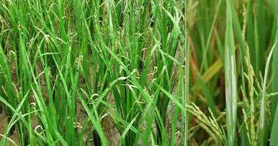 Assam: Pests destroy crop in some parts of Hailakandi