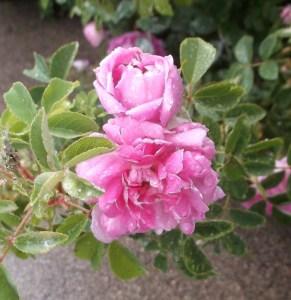 800-Rose-15-06-0504