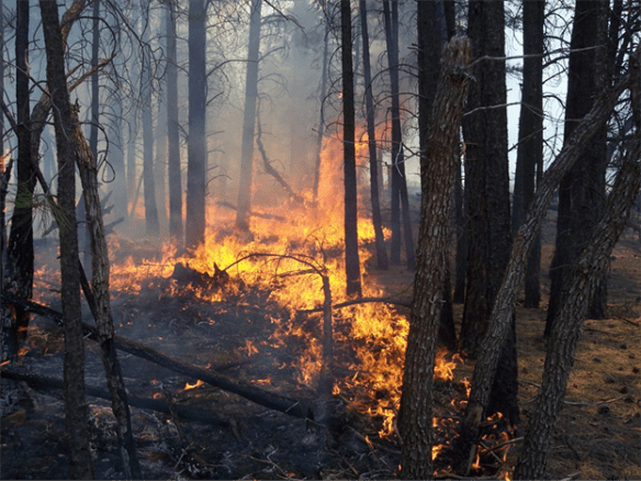 The Mason Fire picked up in activity yesterday, growing to about 50 acres and cleaning up the forest floor as it moved through pine needles and other forest fuels. Photo taken July 1, 2015, by Bob Blasi, U.S. Forest Service, Southwestern Region, Kaibab National Forest.