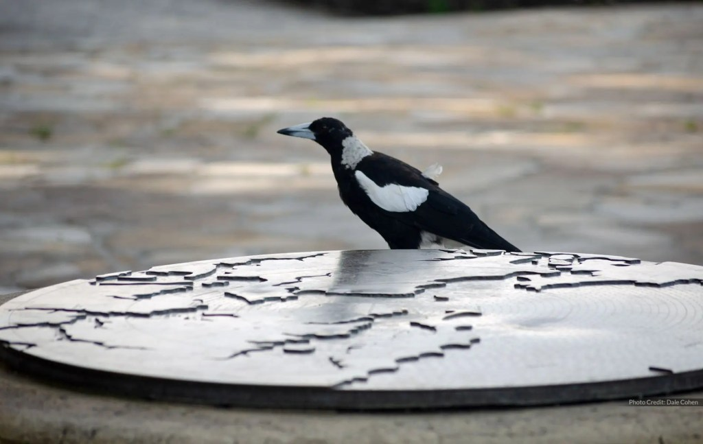 West Head Magpie