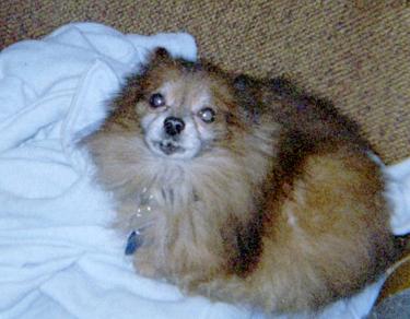 PomeranianIMG026