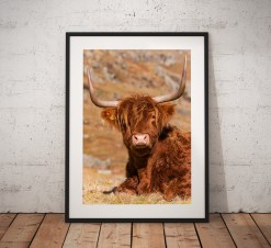 Cute Highland Cow