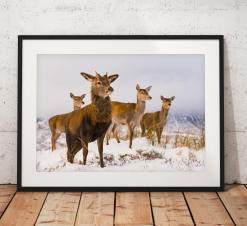 Wildlife photo of a Red Deer herd in Glencoe, Scottish Highlands, nature, Scotland, Winter, Snow