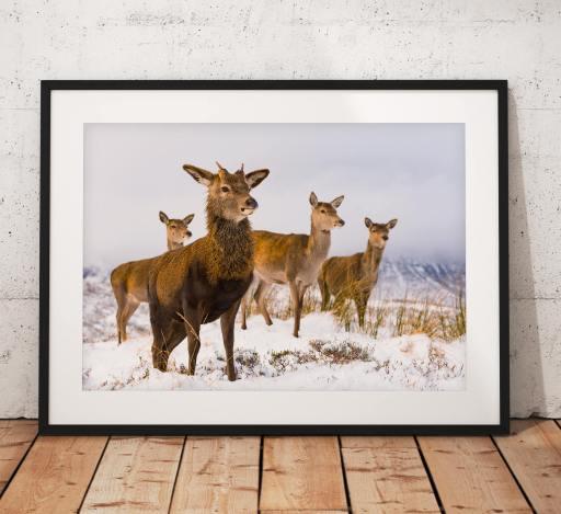 Wildlife photo of a Red Deer herd in Glencoe, Scottish Highlands, nature, Scotland, Winter, Snow