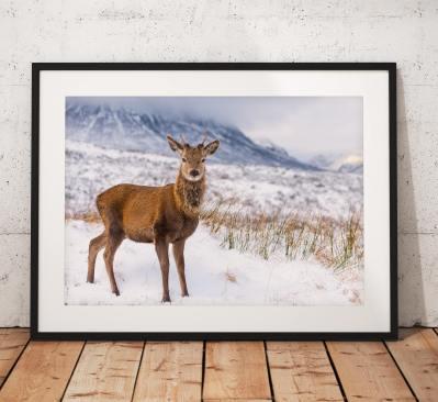 Wildlife photo of a Red Deer in Glencoe, Scottish Highlands, nature, Scotland, Winter, Snow