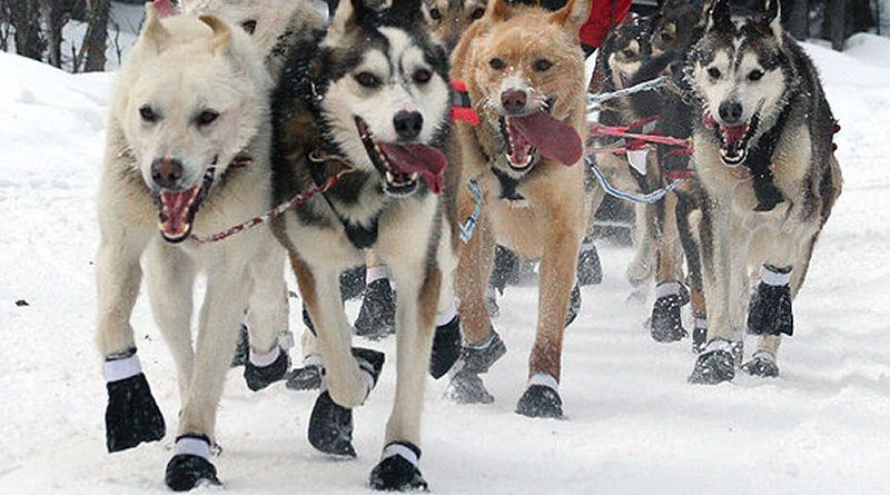 Learning Fat Burning Secrets from Sled Dogs