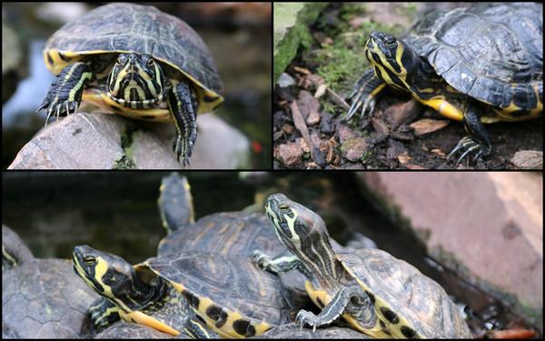 collage_schildpadden