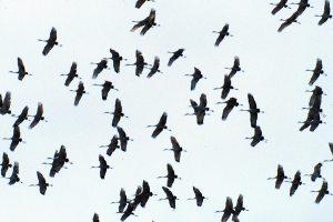 Cranes-in-Flight1-Durr