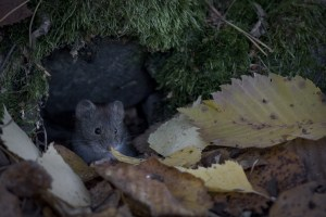 a rat's nesting close to the house
