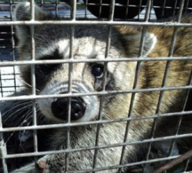 trapping a raccoon