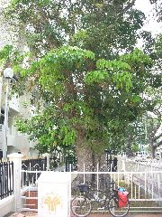 Oldest rubber tree in Malaysia