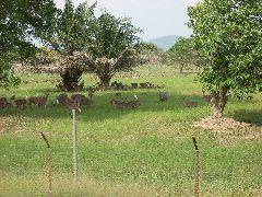 Malaysian Deerfarm
