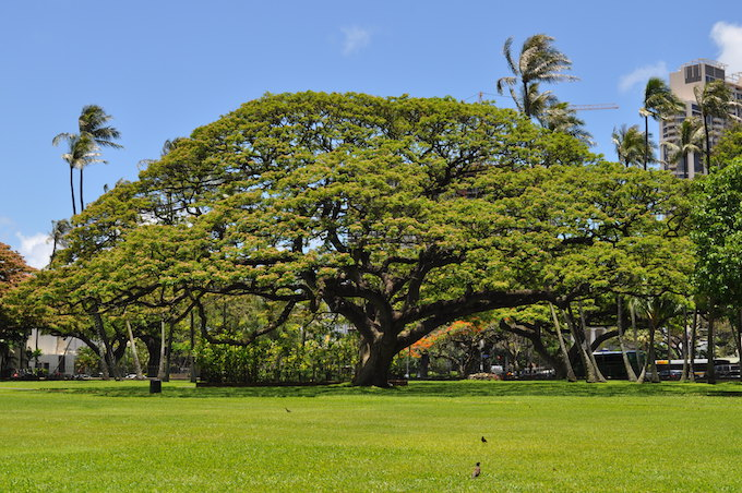 Iolani Palace tree