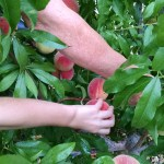 Photo close up of picking peaches.